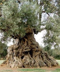 knarled ancient tree